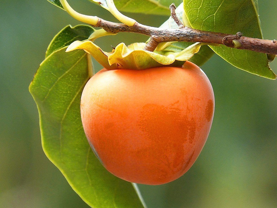 cachi-frutto-autunnale